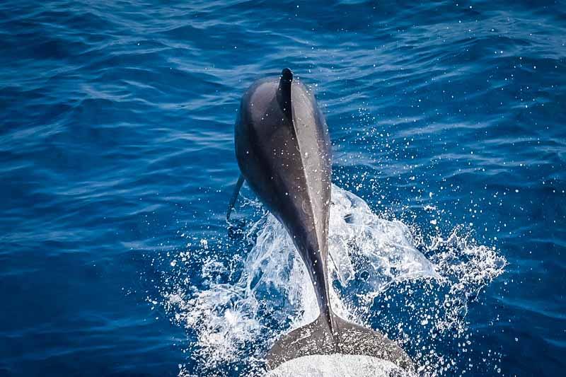 Noah Maldives boat safari - dolphins & whales